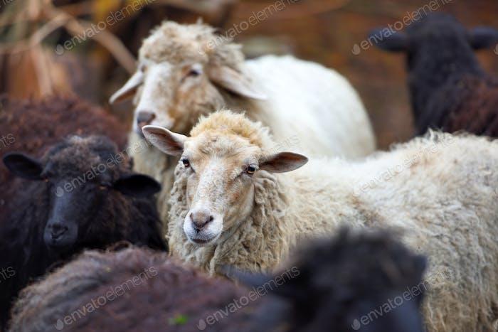 Family sheep in the farm. Breeding animals