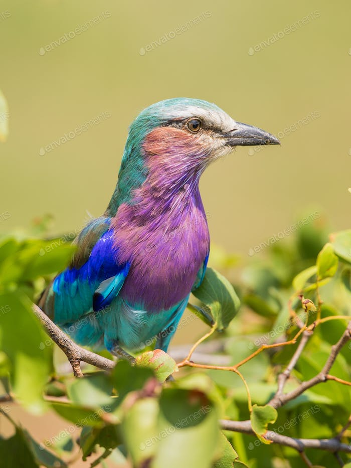Lilac breasted roller perched in bush