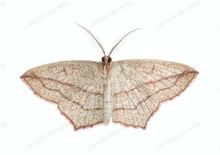 Blood-vein moth, Timandra comae, in front of white background, studio shot