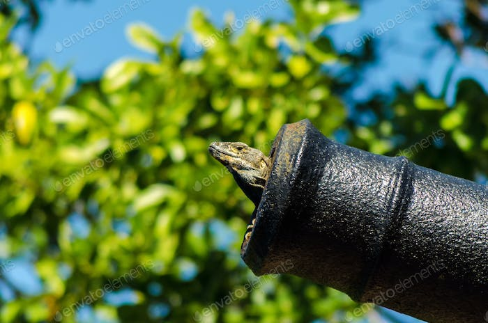 A Lizard in a Cannon