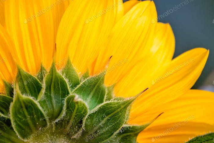 Close up of a yellow sunflower head