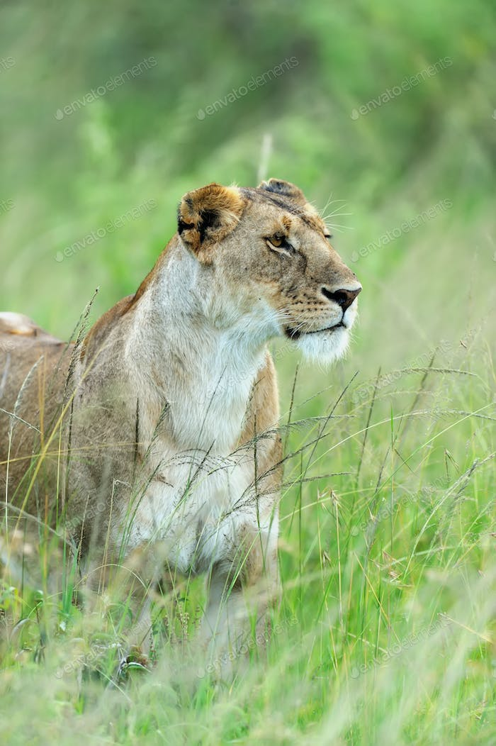 Lion in the grass of Masai Mara, Kenya