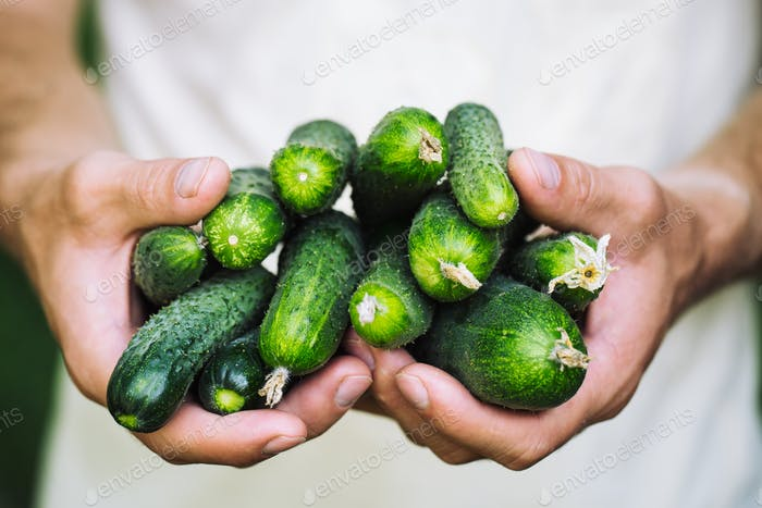 Female farmer holds fresh organic cucumbers in her hands - closeup image.