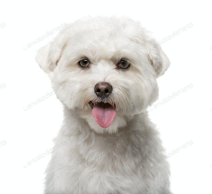 Maltese (16 months old) in front of a white background