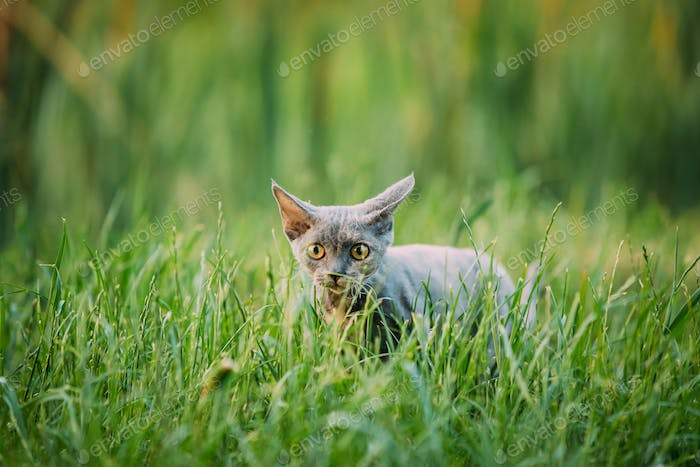 Funny Curious Young Gray Devon Rex Kitten Sneaks In Green Grass. Short-haired Cat Of English Breed