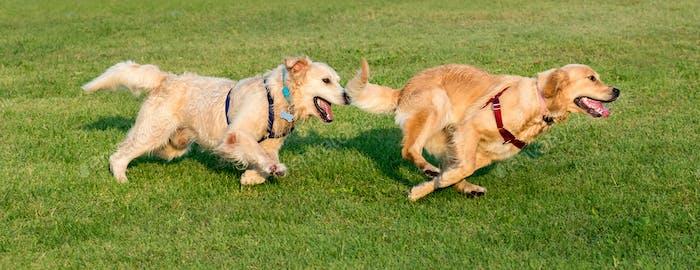Two Golden Retriever running on grass