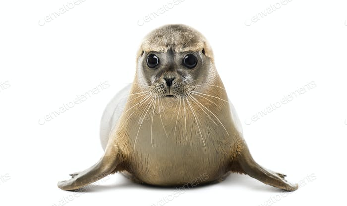 Front view of a Common seal lying, looking at the camera, Phoca vitulina