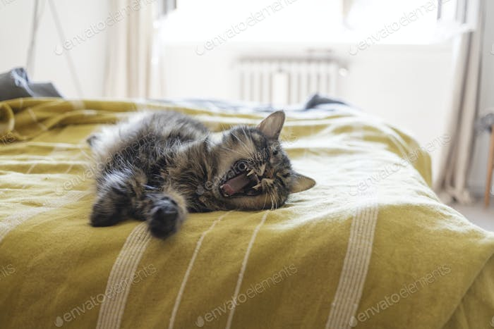 Lovely cat lying on the bed and stretching paws