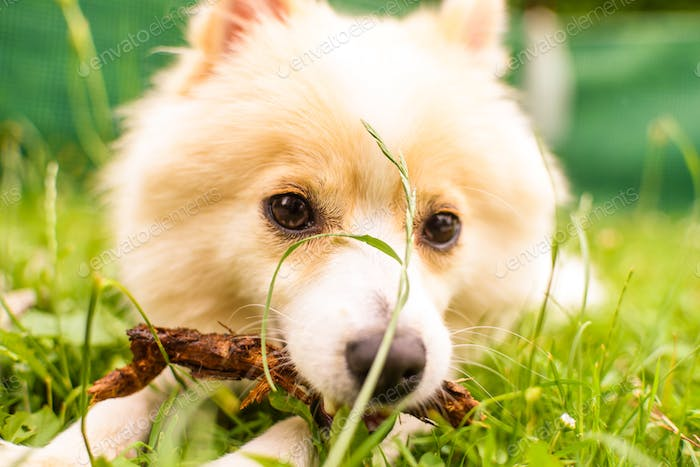 German Spitz Klein bit a stick