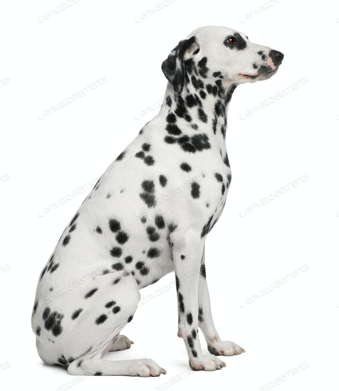 Dalmatian, 2 years old, sitting in front of white background