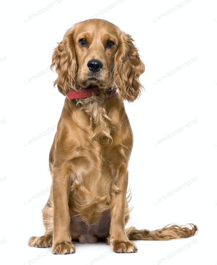 Cocker Spaniel, sitting (1 years old)