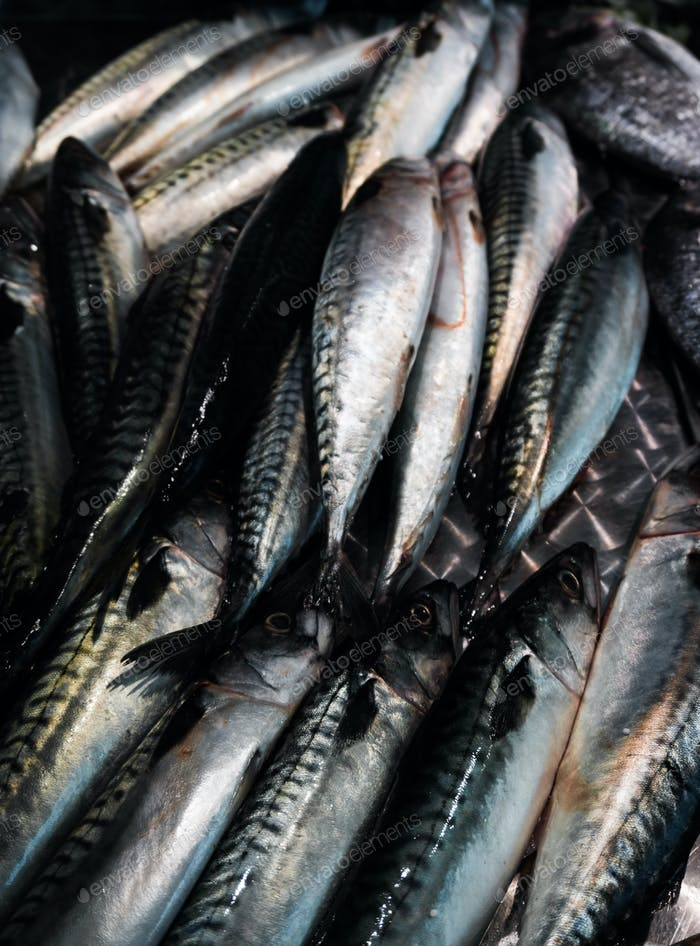 Fresh mackerel fish (Scomber scrombrus).  Mackerel  for sale at