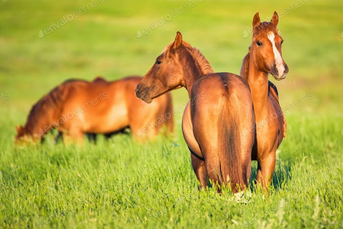Several beautiful wild horses grazing on summer meadow