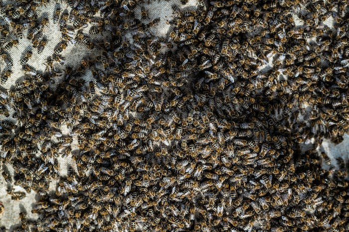 A swarm of bees crawling, macro shot. A colony of bees crawling on a white background. Beekeeping