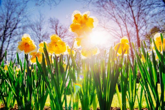 Gelbe Narzissen in den Gärten von Holland