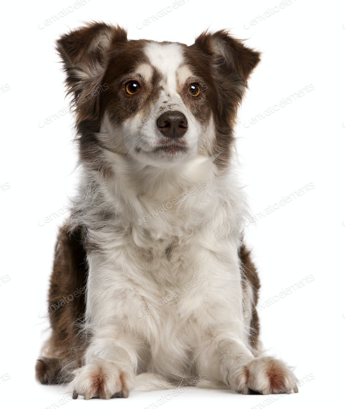 Border Collie, 8 months old, sitting in front of white background