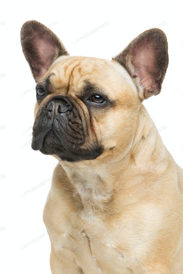 Beautiful french bulldog dog