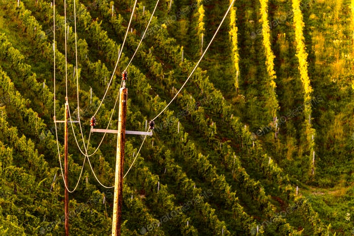 Rows Of Vineyard Grape Vines. Autumn Landscape. Austria south Styria . Abstract Background Of Autumn