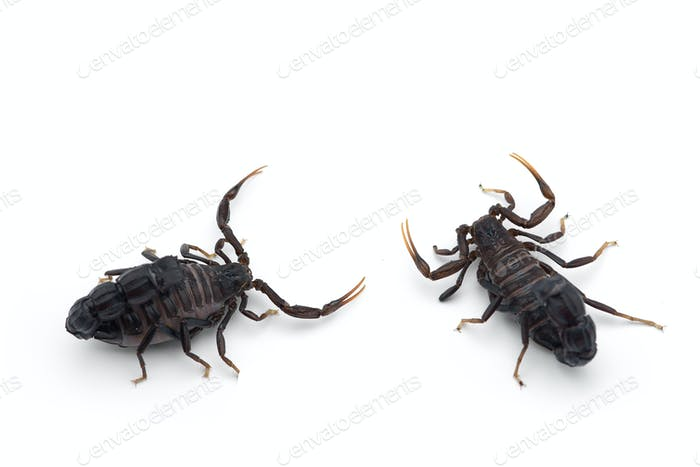African venom Scorpion isolated on white background