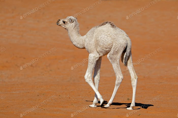 Small camel calf on a sand dune