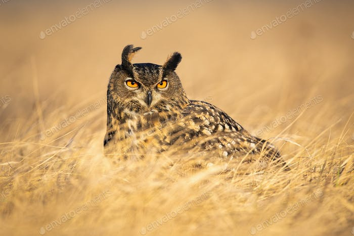 Dominant eurasian eagle-owl watching attentively with orange eyes