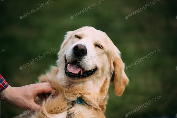 Close View Of Funny Young Happy Labrador Retriever. Smiling Dog