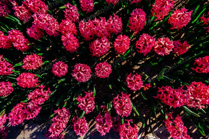 Many colorful hyacinths growing under the spring sunshine