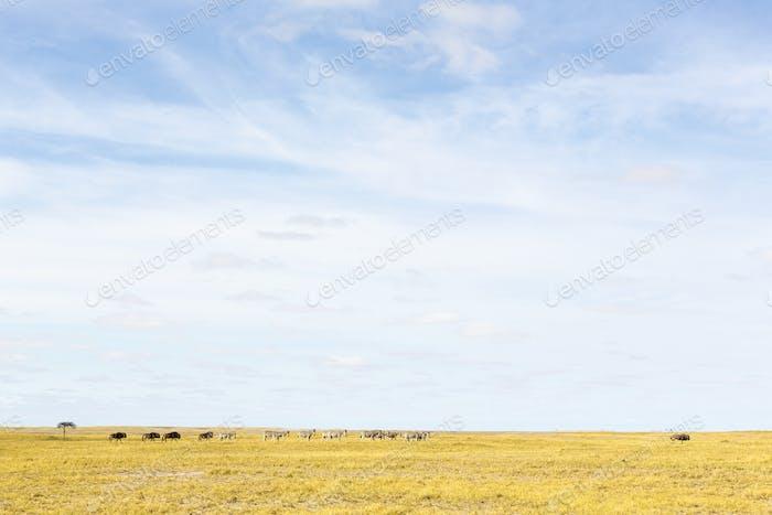 Burchells Zebra und Wildebiest, Tiergruppen, die in der Kalahari-Wüste weiden