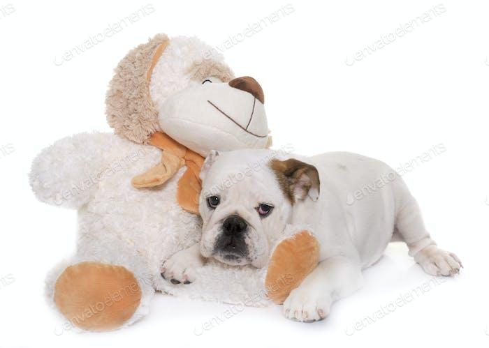 puppy english bulldog and toy