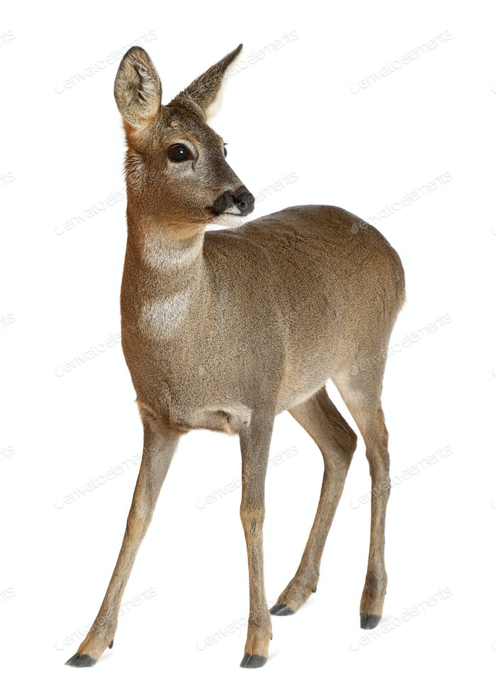 Thumbnail for European Roe Deer, Capreolus capreolus, 3 years old, standing against white background
