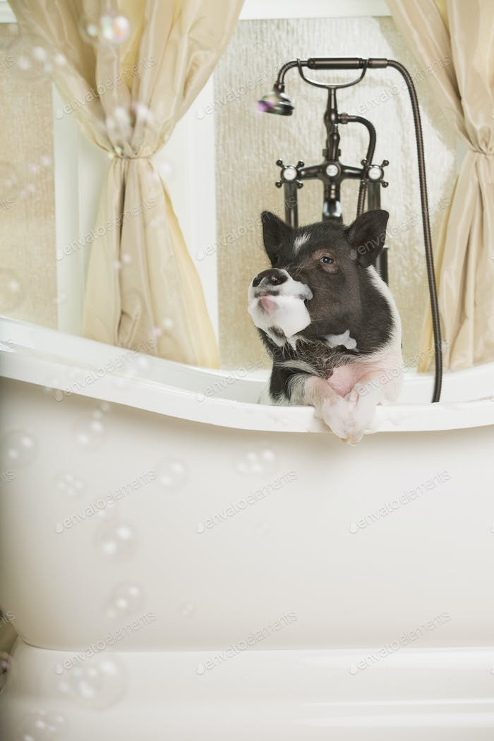 A mini pot bellied pig in a bathtub, looking through the shower curtain.