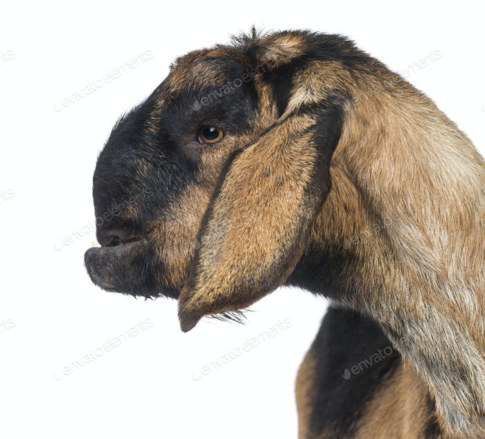Close-up of an Anglo-Nubian goat with a distorted jaw, against white background
