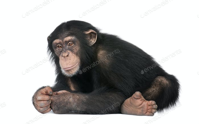 Thumbnail for Young Chimpanzee - Simia troglodytes (5 years old)