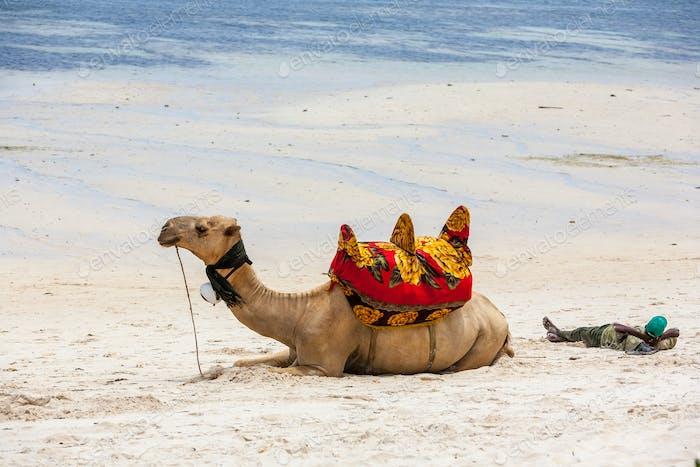 Camello acostado en la Arena