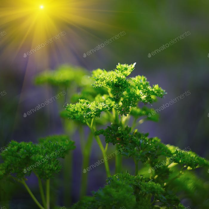 Curly Petersilie Blätter Nahaufnahme im Garten