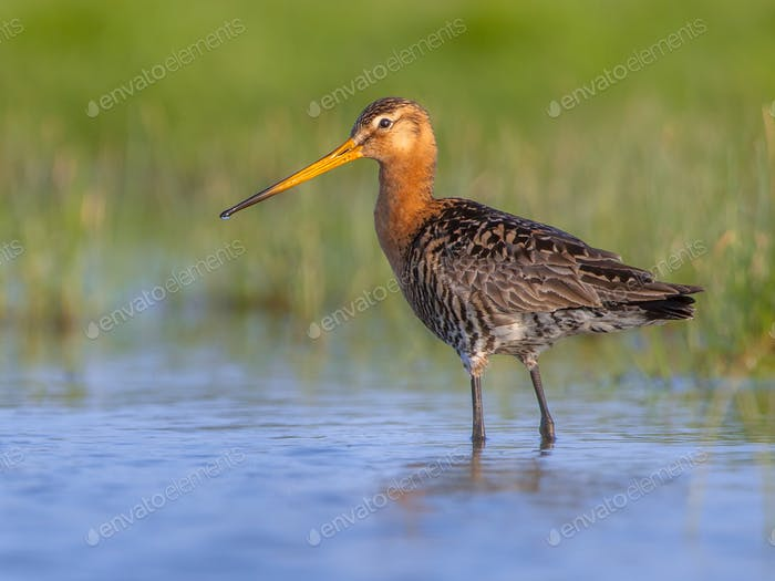 Black tailed Godwit in wetland