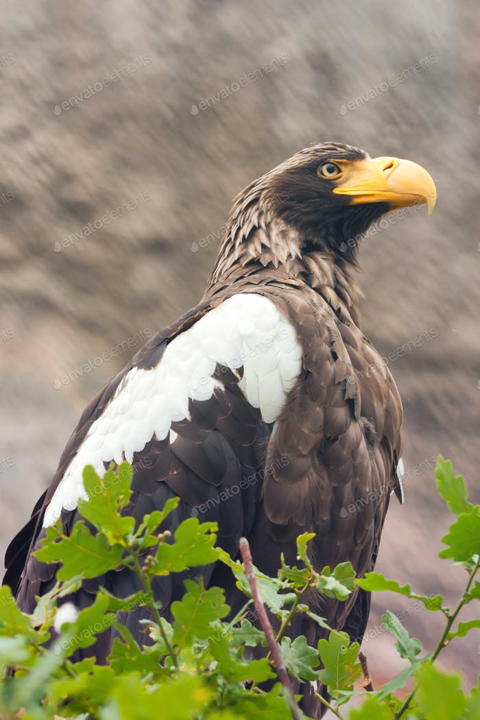 Stelller's sea eagle or Pelagicus haliaeetus