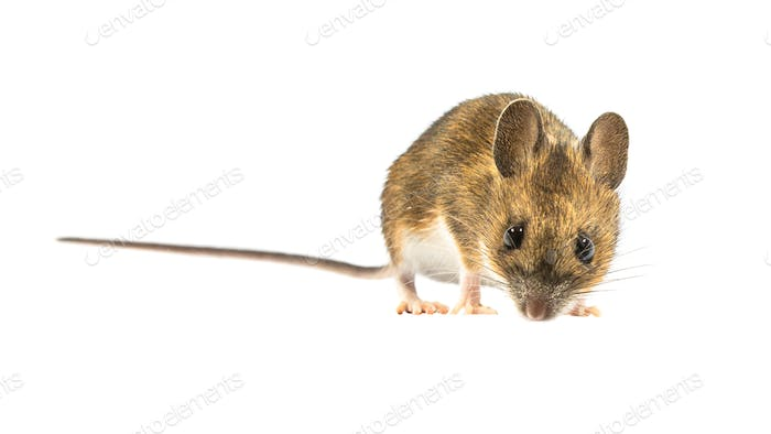 Fearful mouse isolated on white background