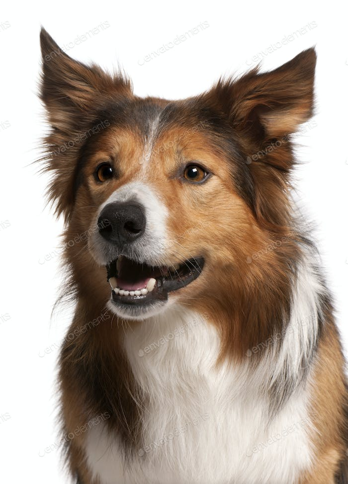Close-up of Male Border Collie, 3 years old, in front of white background