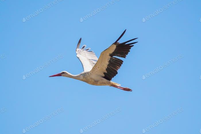 European White Storch Fliegen in Blue Sky