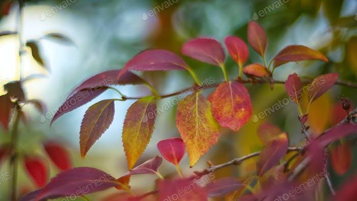 Defocused colored leaves on a bush
