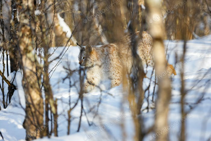 Lynx strolling on snow seen through bare tree trunks