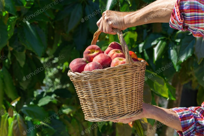 Senior man, farmer worker holding harvest of organic peach