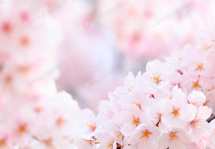 Sakura cerca