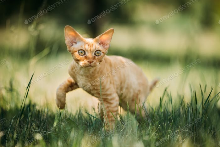 Funny Young Red Ginger Devon Rex Kitten In Green Grass. Short-ha