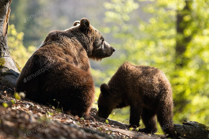 A pair of fluffy brown bear grazing in the sunny forest