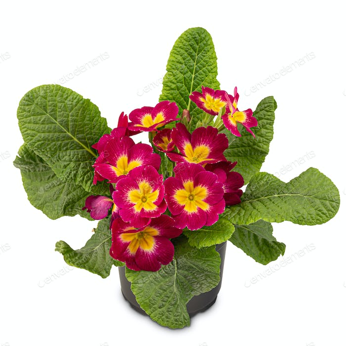 Red primrose with yellow centres