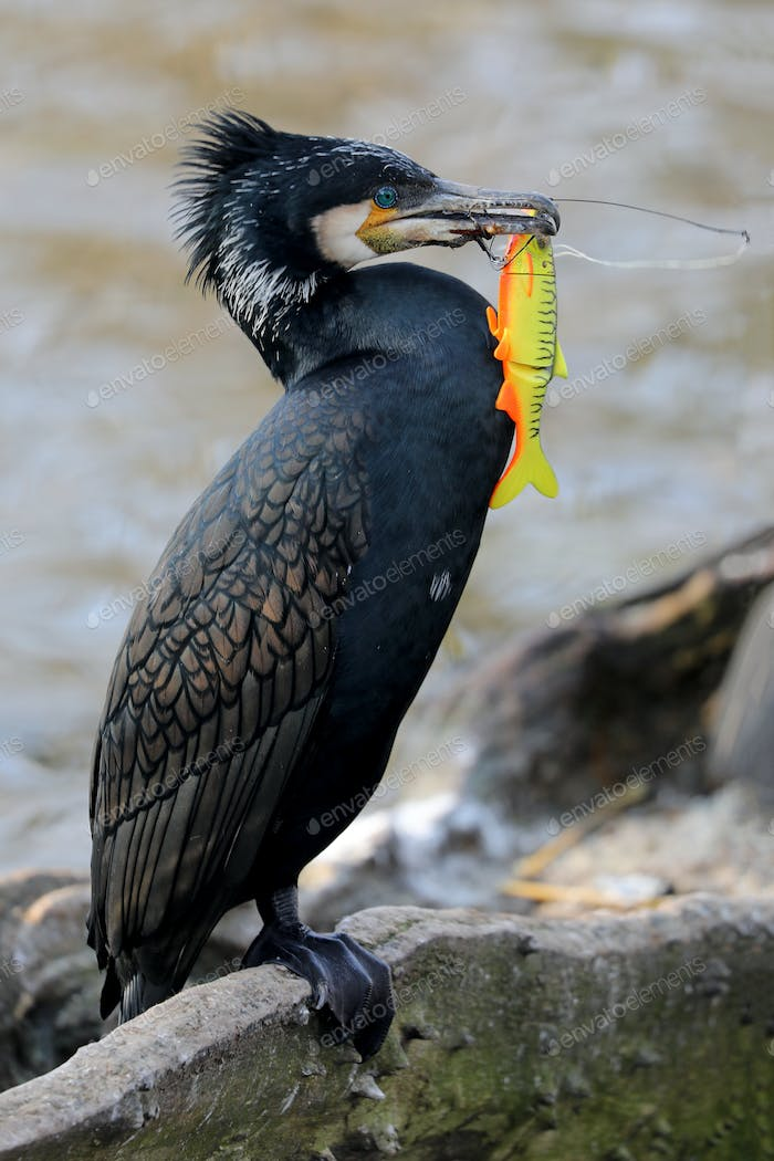 Great cormorant with fishook and spinner in beak