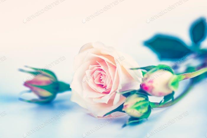 Weiche rosa Rosen
