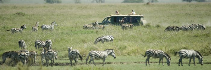 Herde von Zebra in der Serengeti